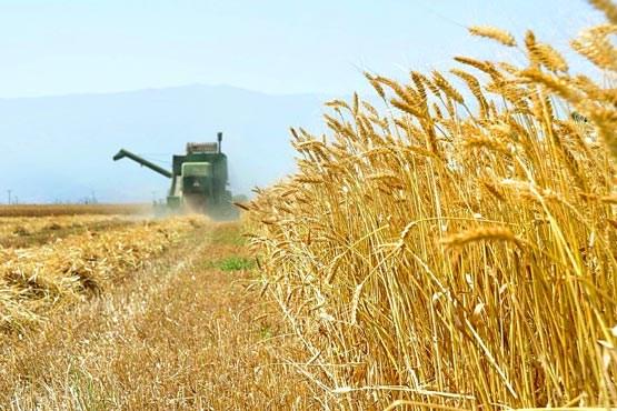 مدیر جهاد کشاورزی چرام خبر داد : پایان بی سابقه برداشت ۷هزار تنی گندم در چرام