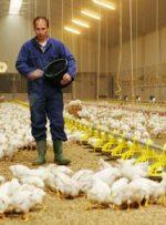 کرونا صنعت مرغداری در کهگیلویه وبویر احمد را بیمار کرد
