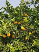جبران تبعات تنش آبی در باغ های کهگیلویه و بویراحمد نیازمند اعتبار است