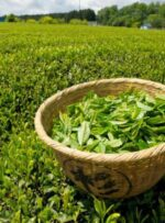 چای سبز گرم است یا سرد؟