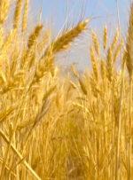 درآمد بهره برداران محصولات زراعی در کهگیلویه و بویراحمد افزایش یافت
